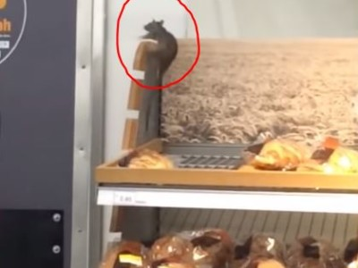 Rodent rummaging through a bakery shelf